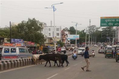 Khabar East:Animals-takes-place-on-road-more-chances-of-accident-everyday