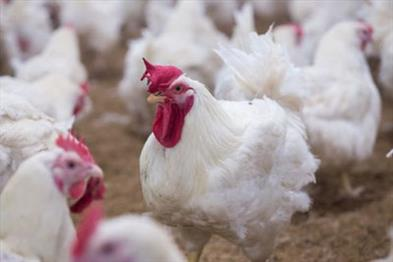 Khabar East:Bird-flu-scourge-in-Puri-stoppage-of-eggs-in-mid-day-meal