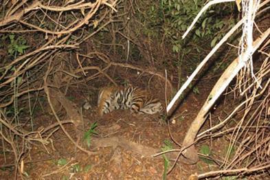 Khabar East:two-tiger-dies-in-three-weeks-in-odisha